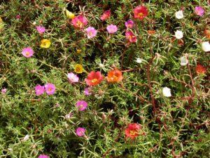 цветы-портулак