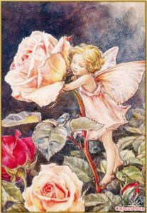 цветы-роза-баркер