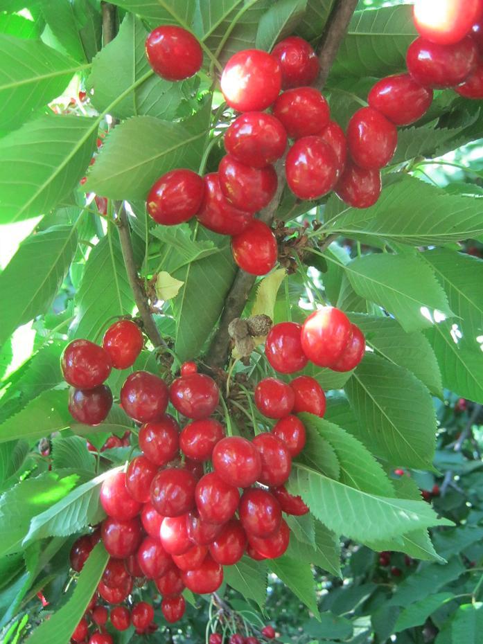 Черешня в моем саду