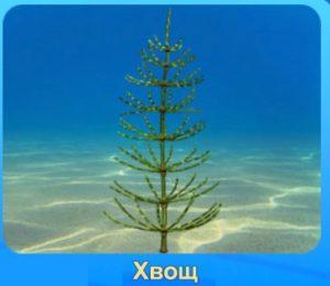 1-хвощ-аквантика