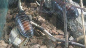 1-таракан-мадагаскарские шипящие-краснодар