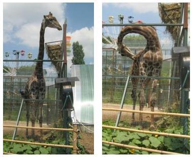 Жирафы в сафари-парке Краснодара, фото Наты