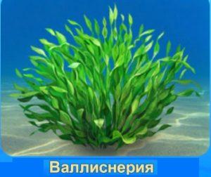 1-валлиснерия-аквантика