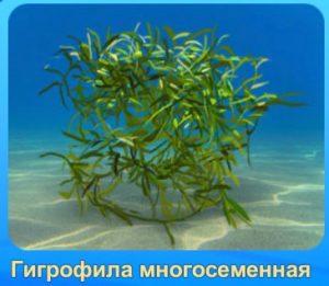 1-гигрофилла-аквантика