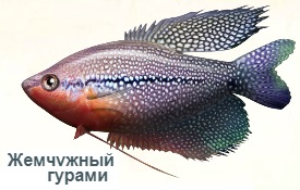 1-гурами жемч-Янцзы-на рыбалку