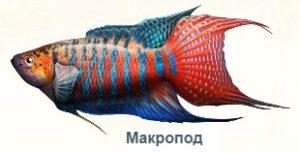 1-макропод -на рыбалку
